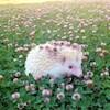 albinohedgehog
