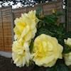 YellowRose55