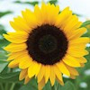 Sunflower85
