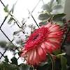 Poppy16